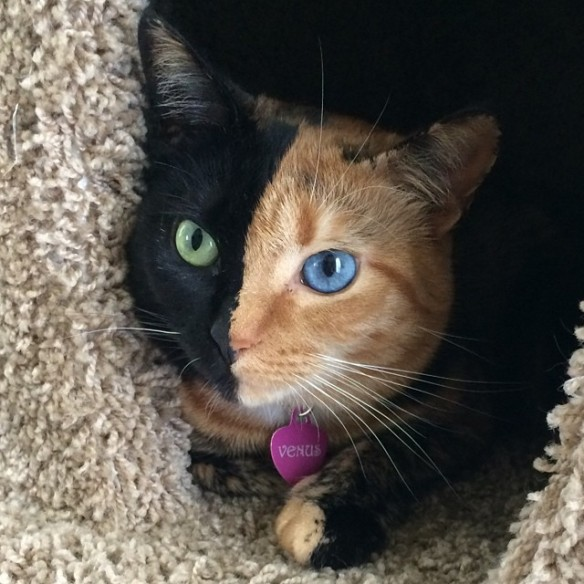 Chimera_Cat